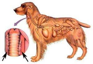 hond-schildklier